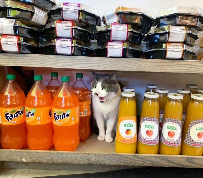 bodega kitty guarding beverage section