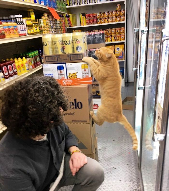 bodega kitty jumps on canned beers