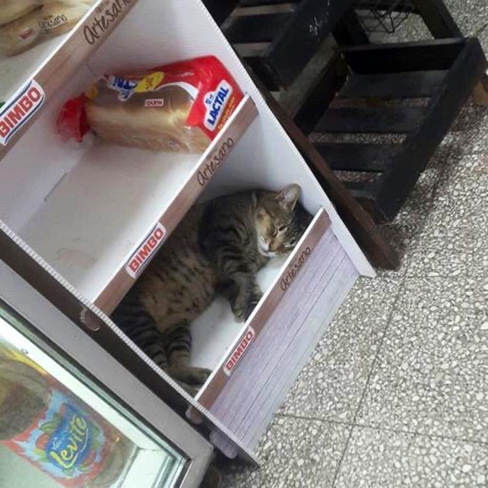 bodega kitty napping in bread shelf