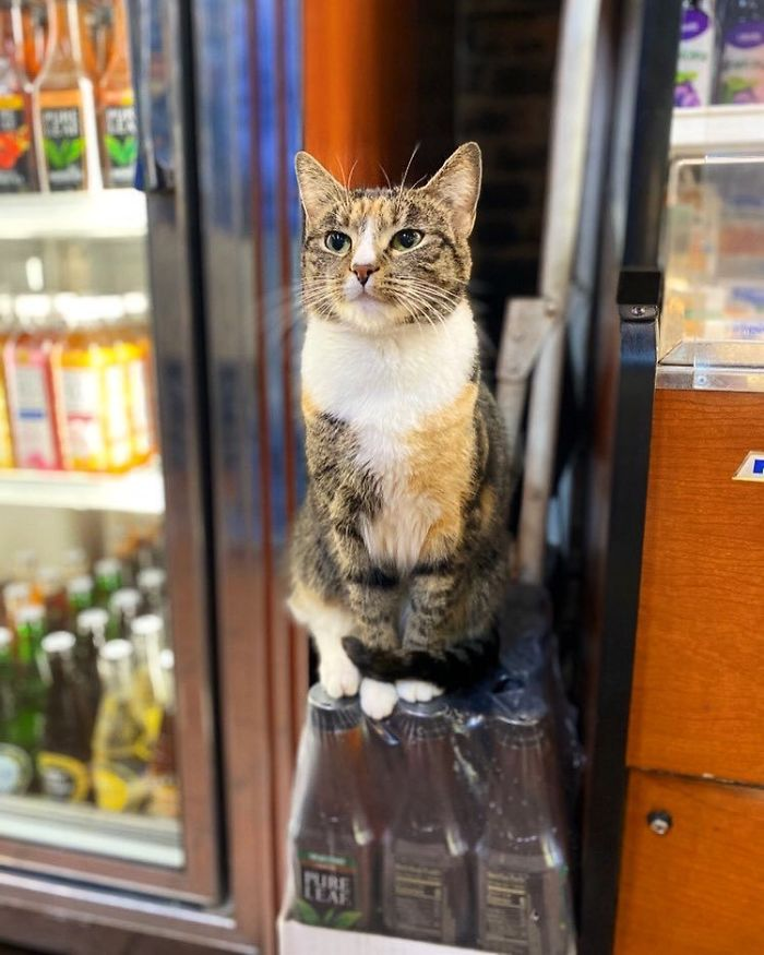 cats in shops sitting on top of beverage bottles
