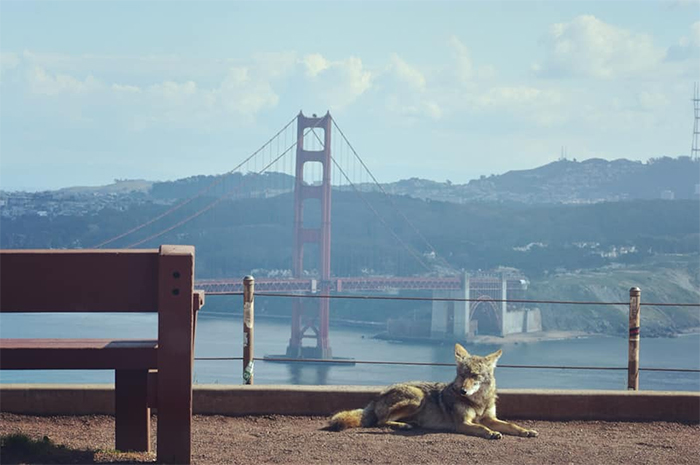 coyote in san francisco during lockdown