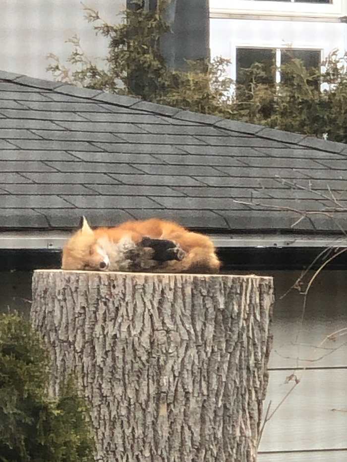 cute fox sleeping on a tree stump
