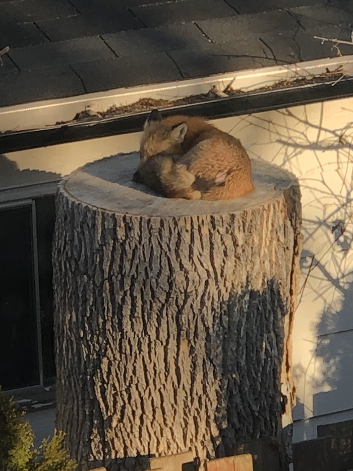 fox sleeping on a tree stump cute photo