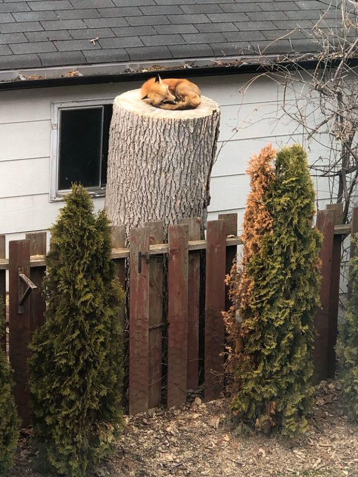 fox sleeping on a tree trump in the backyard