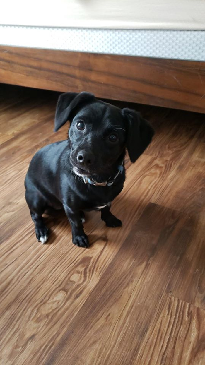 labrador turns out to be a dachshund