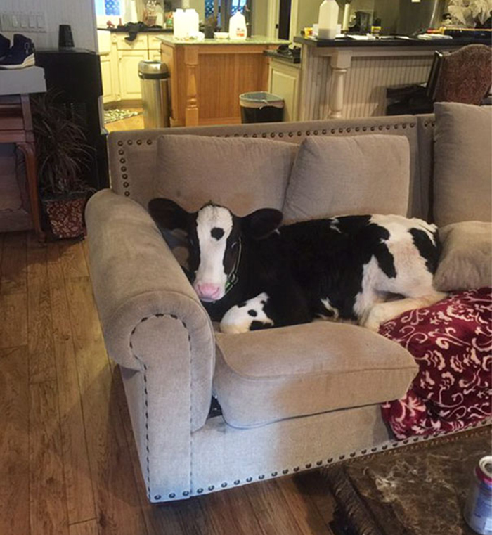 mini cattle sitting on couch