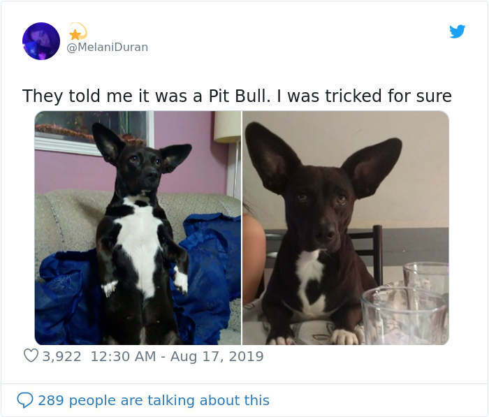 pittbull owner tricked