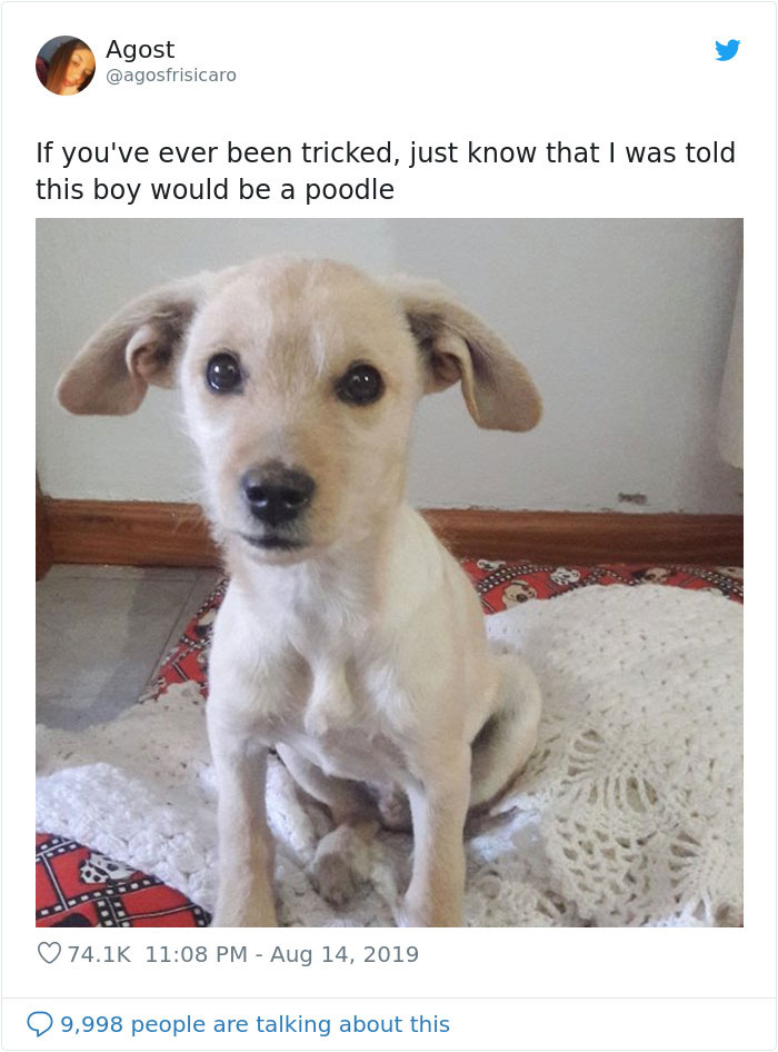 poodle dog owner tricked
