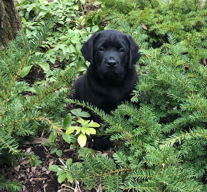 rescue pet photo-finn the lab puppy