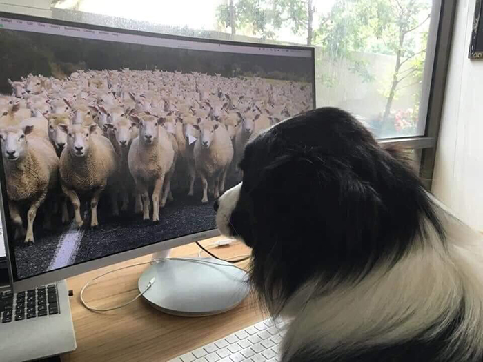 working from home dog watching sheep videos