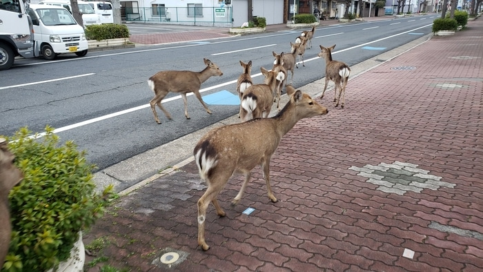 Deers Roaming the Streets of Japan