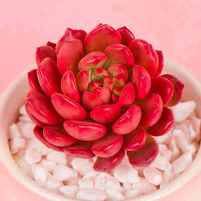 Sedeveria Pink Ruby Succulent in White Pot