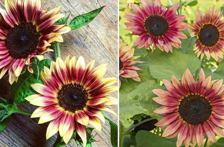 Strawberry Blonde Sunflower seeds