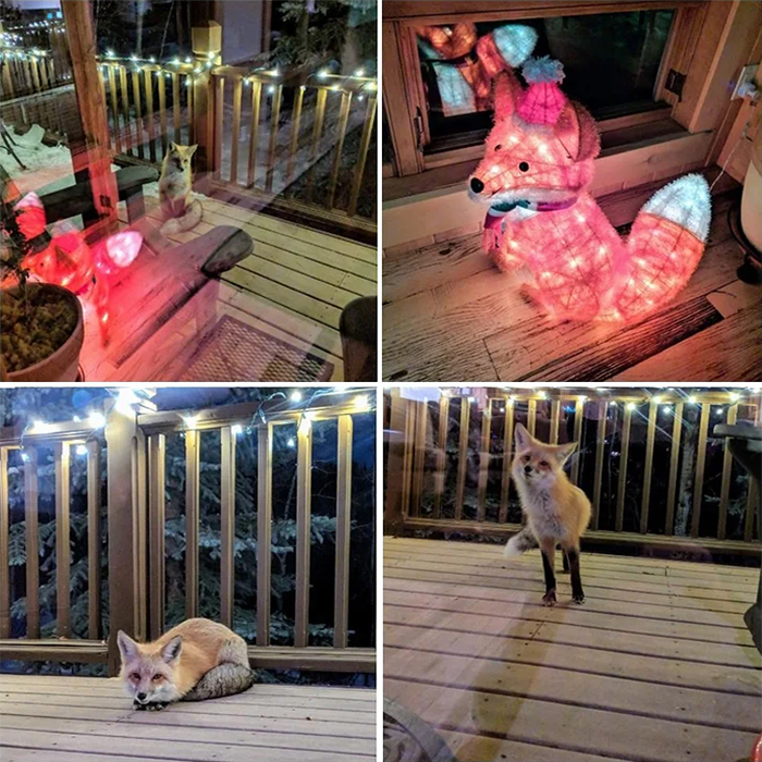 adorable fox pictures christmas lights
