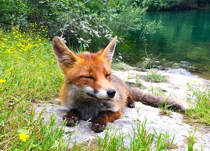 adorable fox pictures joined for lunch