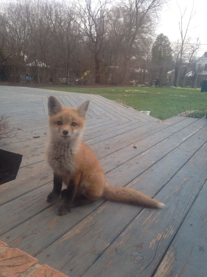 adorable fox pictures pup living in backyard