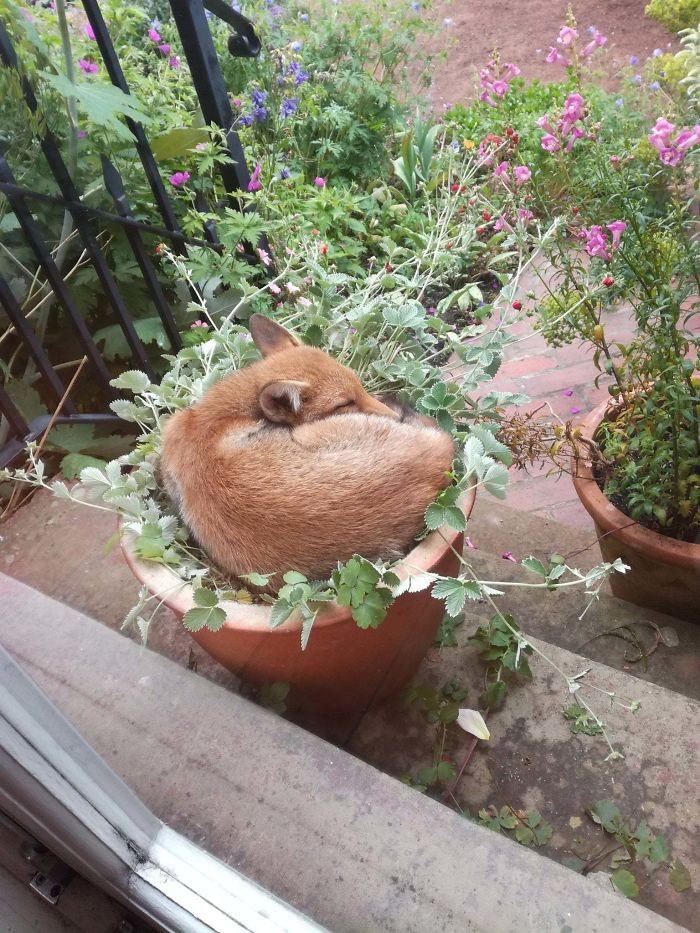 adorable fox pictures sleeping on planter