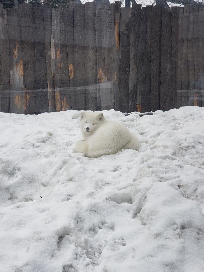 arctic fox smiling