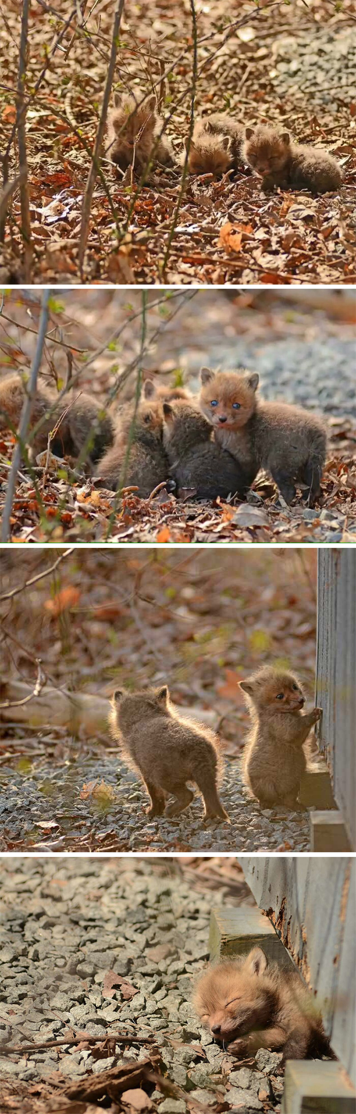 baby foxes found in the backyard