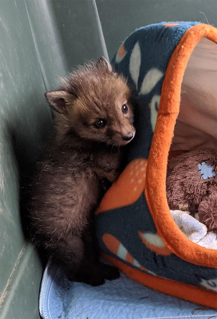 baby redfox came in for rehab
