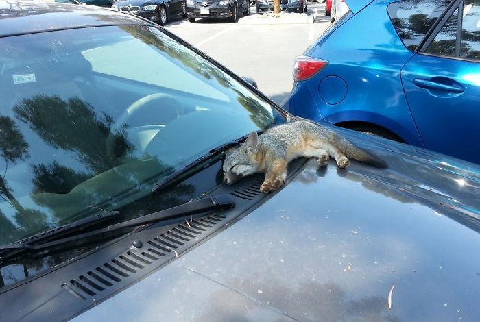 baby wildfox sleeping on car hood