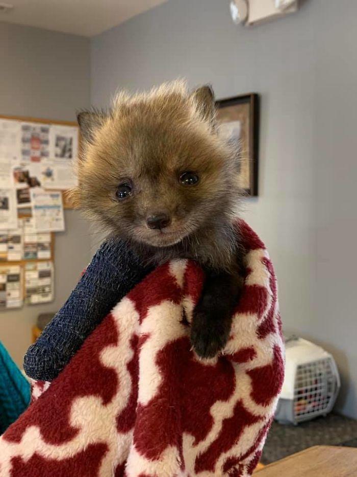 baby wildfox with broken leg
