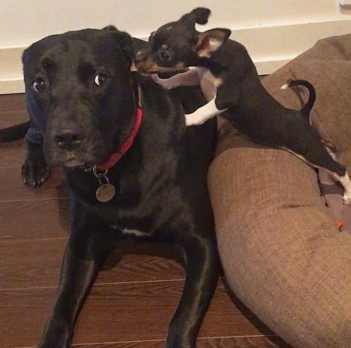 doggo confused about little foster sister