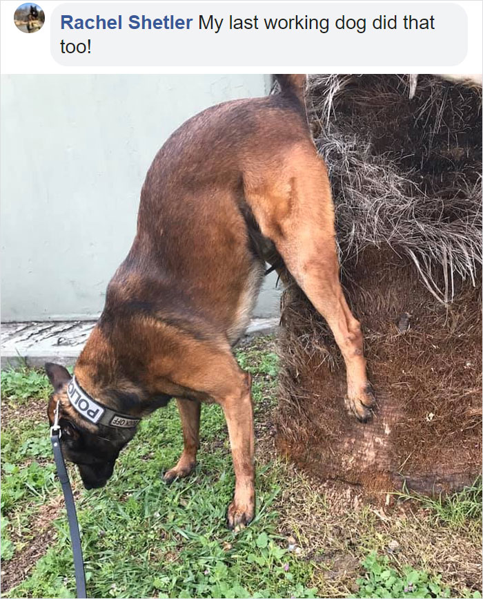 doggy pooping elevated butt