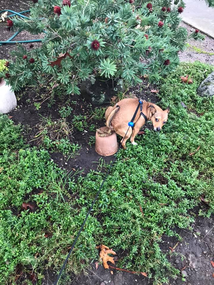 doggy pooping on a pot