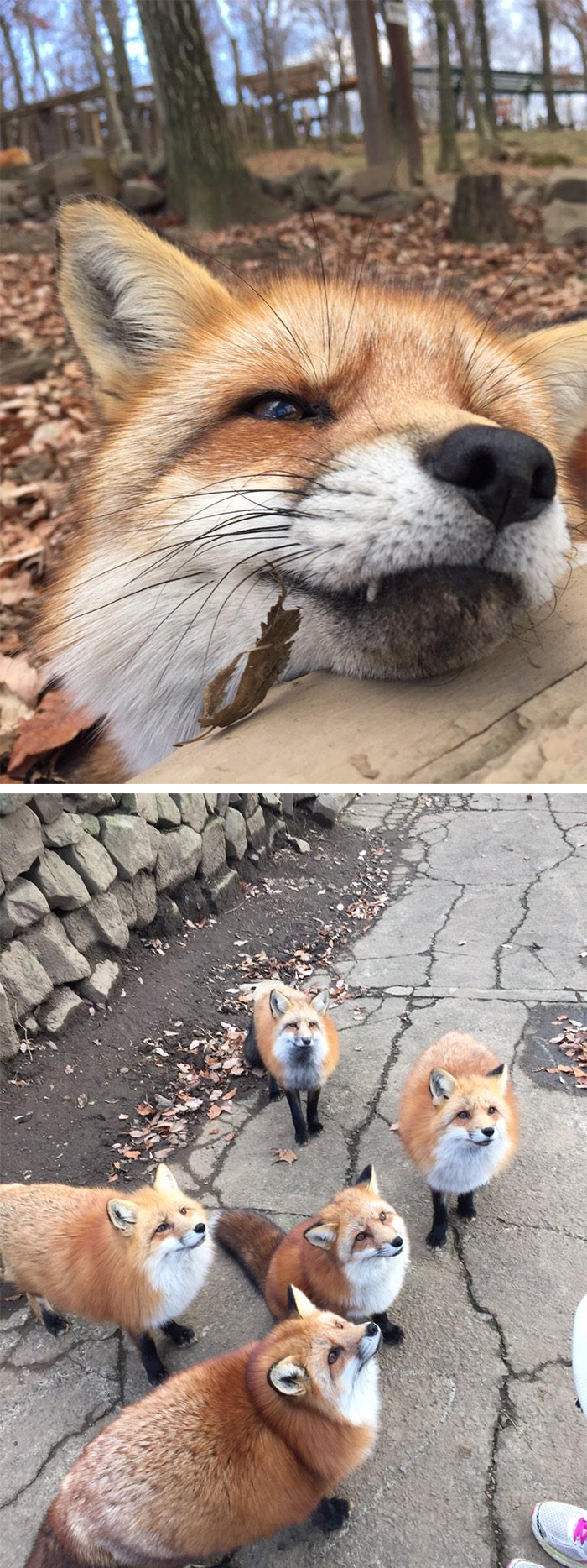 friendly foxes at japan