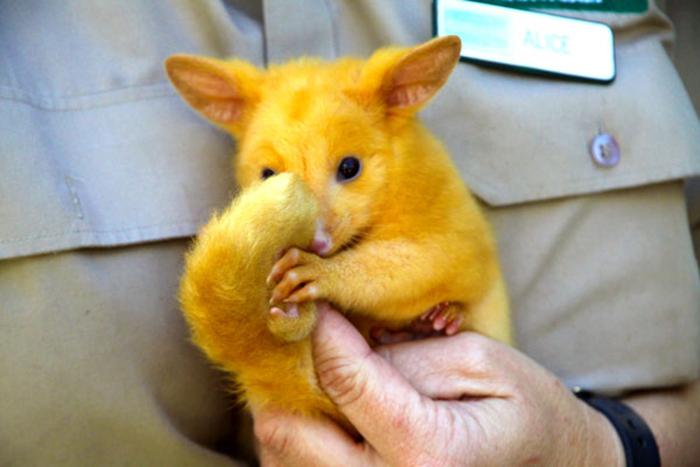 golden possum looks like pikachu
