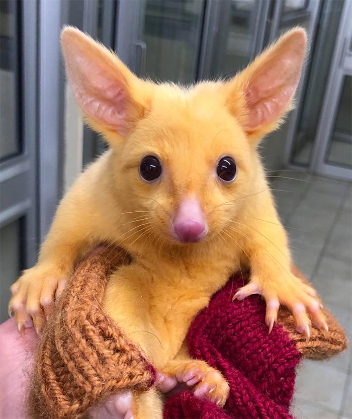 golden possum real life pikachu
