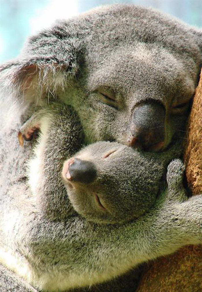 koala mom hugs newborn baby