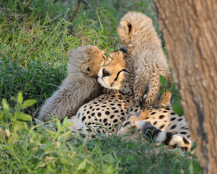 mom cheetah playing with her kids