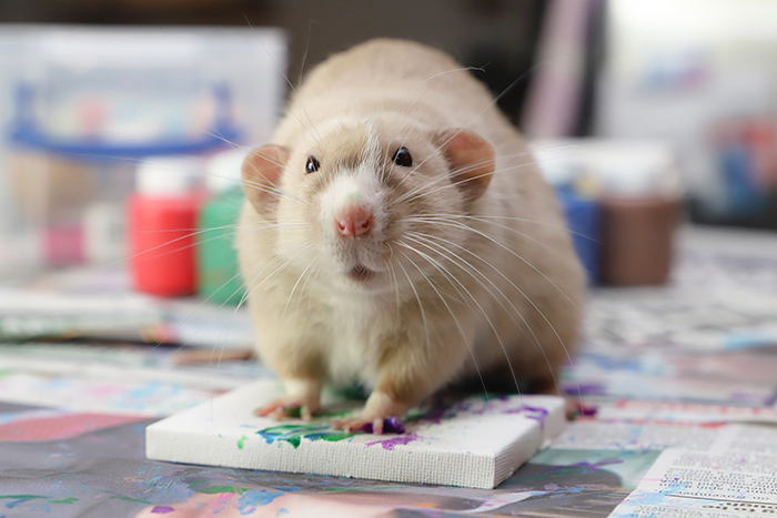 pet rats create miniature paintings