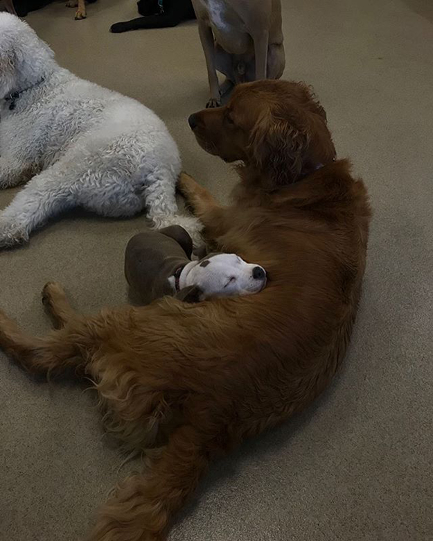 pitbull puppy naps beside the daycare's fluffiest dogs