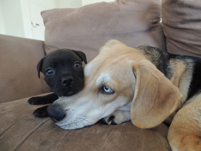 puppy relaxing on big brother head