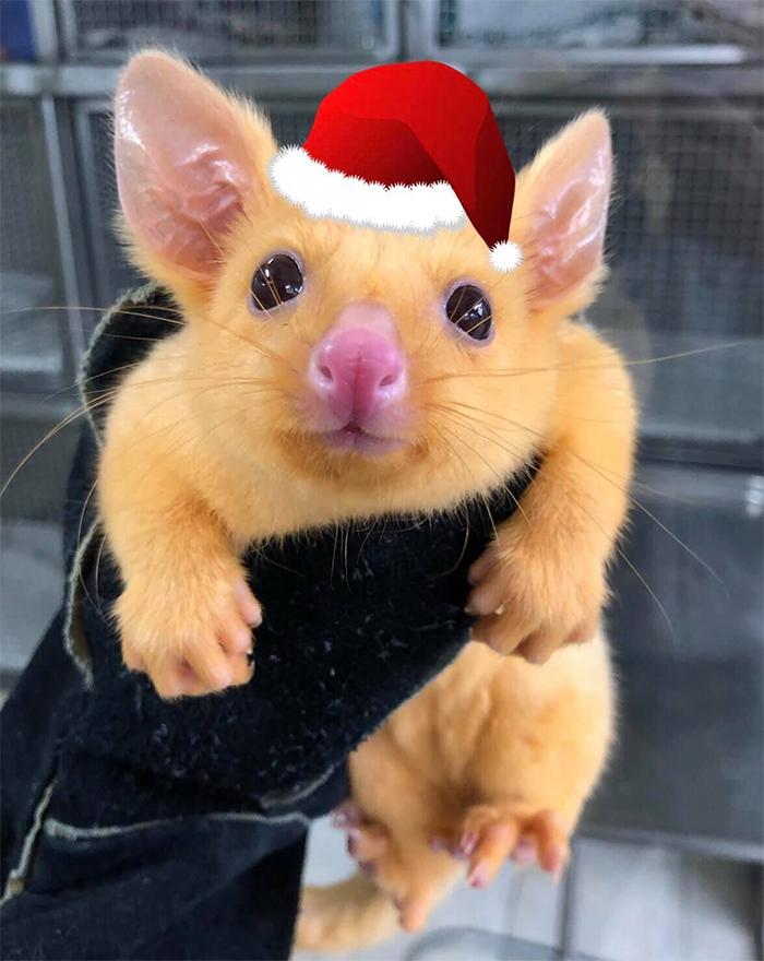 rare adorable golden possum