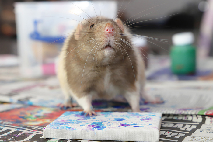 rodent paints on mini canvas