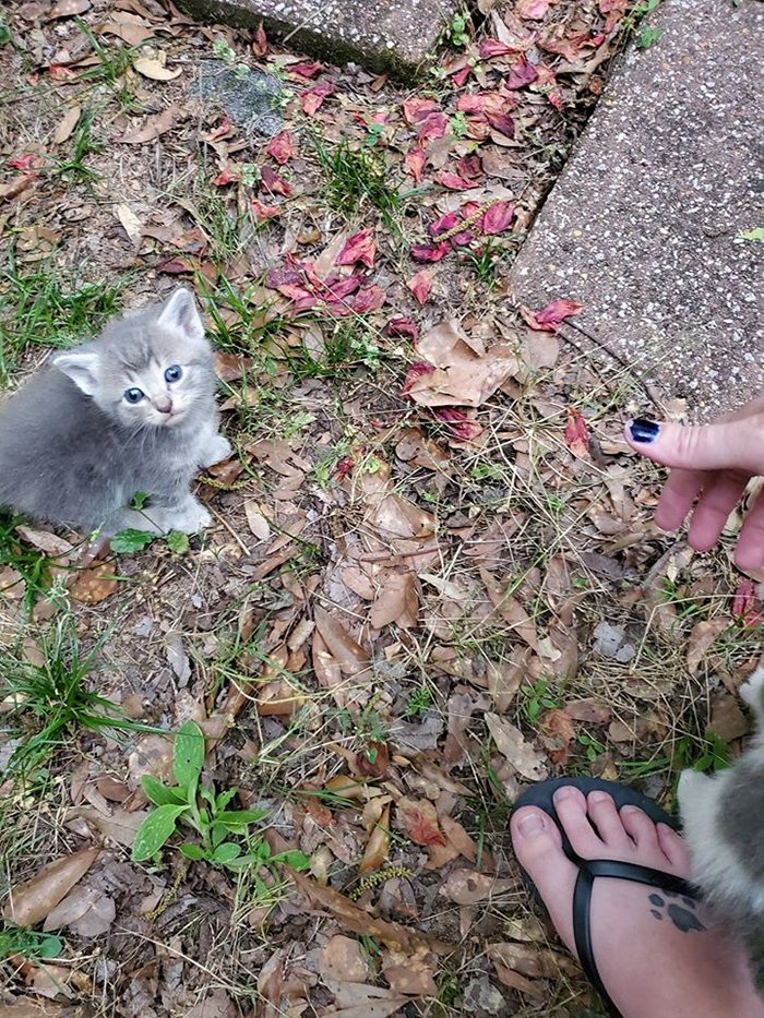 shea prior meets cute gray kitten