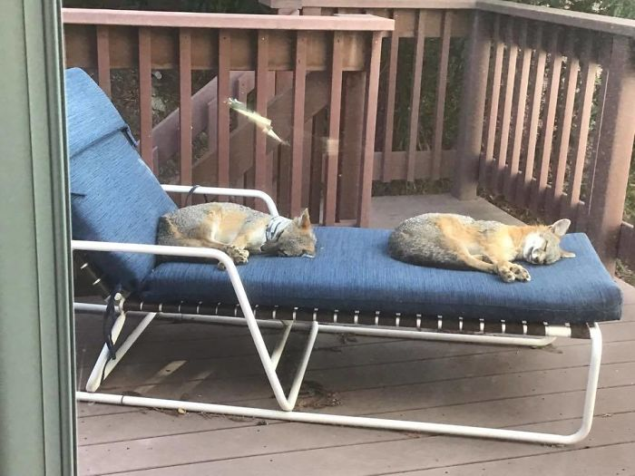 two foxes sleeping on upstairs deck