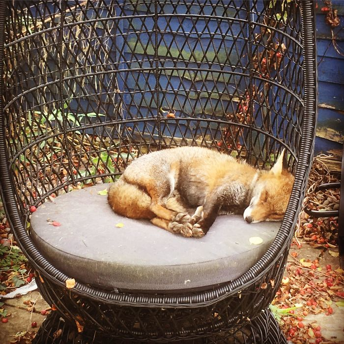 wildfox napping in garden
