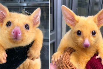 Golden possum