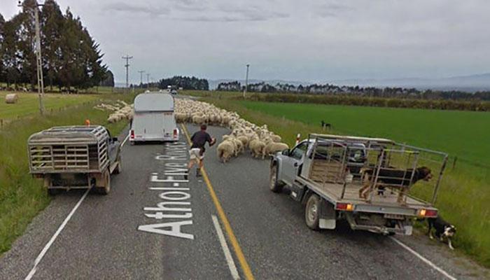 animal pics google map herd of sheep creates traffic