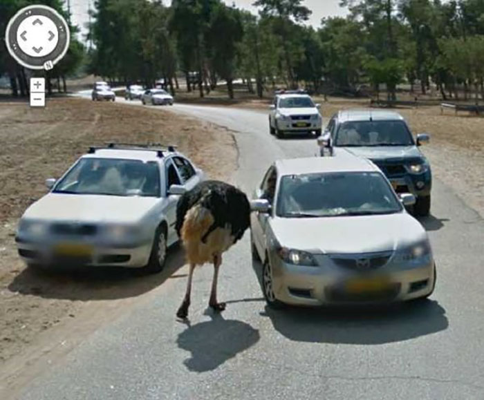 animal pics google map ostrich checks a passing car