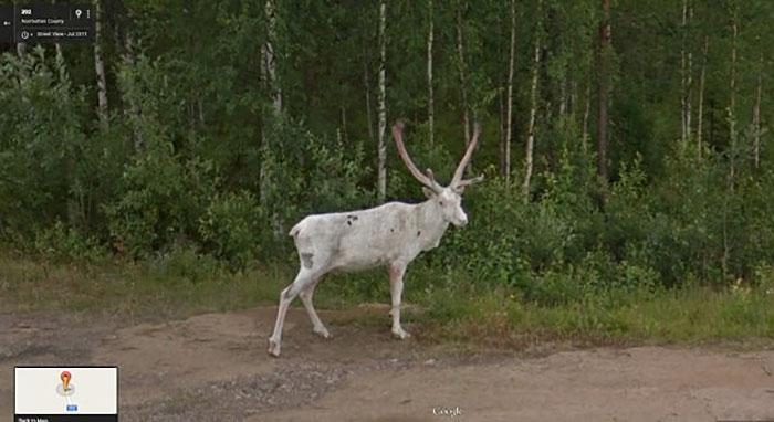animal pics google map rare albino reindeer