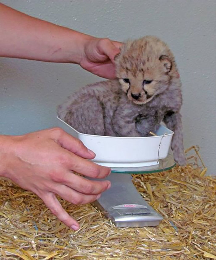 baby cheetah gets weighted