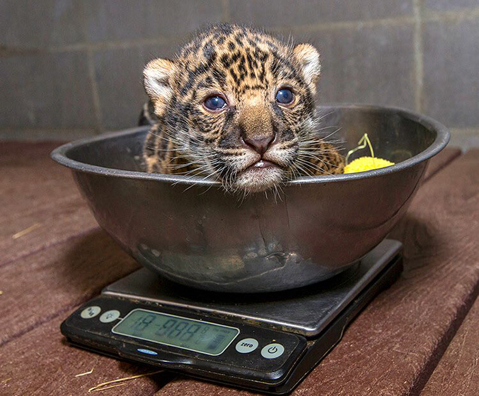 baby jaguar getting weighted