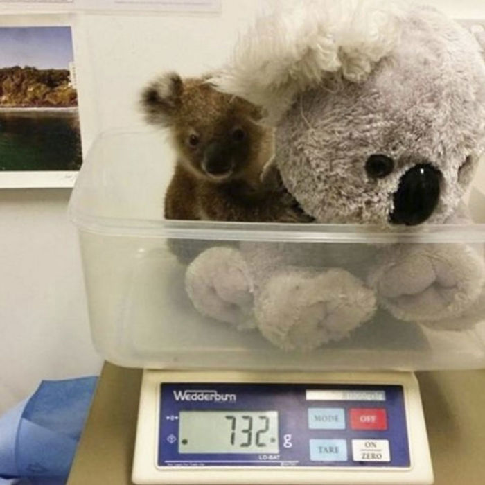 baby koala with a stuffed toy getting weighted