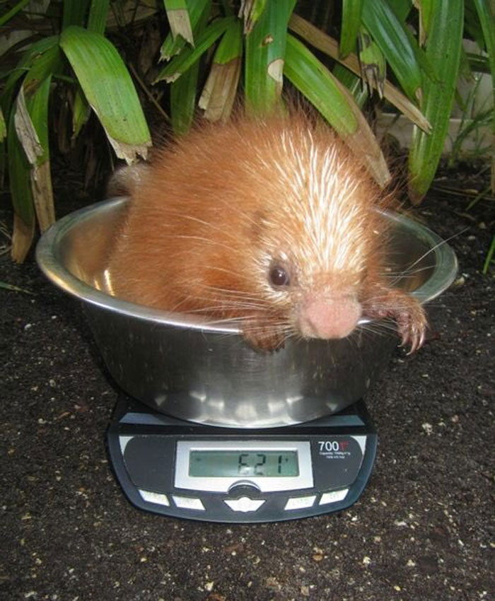 baby porcupine getting weighted